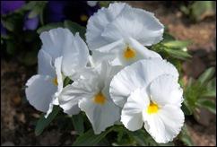 1.Trancoso -  amor perfeito branco