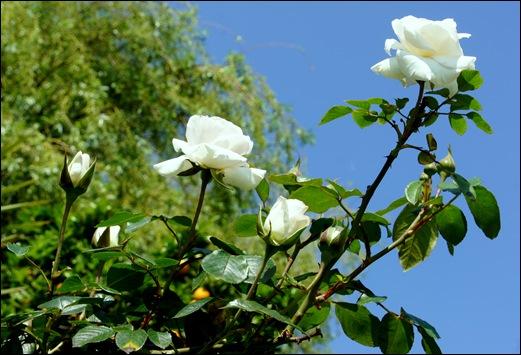 rosas brancas - Gloria Ishizaka