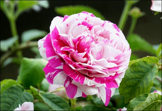 rosa mesclada - Gloria Ishizaka