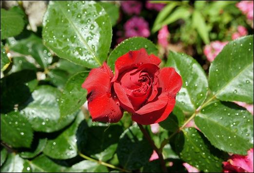rosa vermelha 8 - Gloria Ishizaka