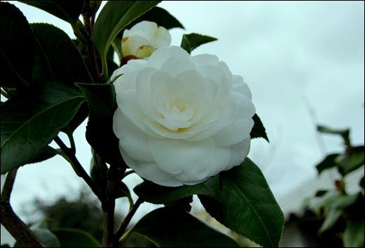 camélia branca - Gloria Ishizaka