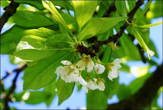 flor - ameixa vermelha - Glória Ishizaka