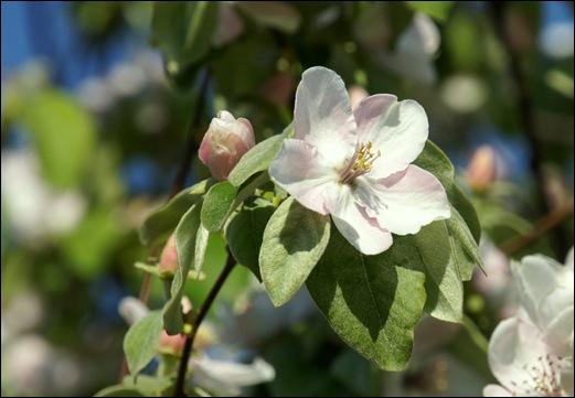 flor - marmelo - Glória Ishizaka