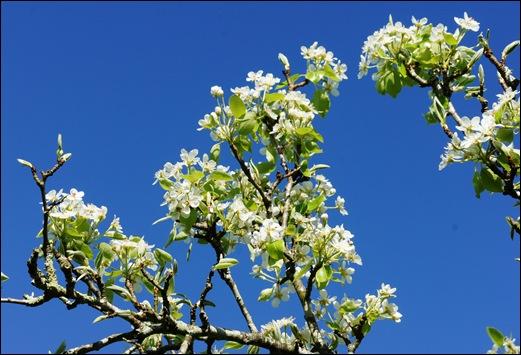 flor - pera 1 - Glória Ishizaka