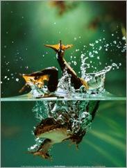 rana-saltando-al-agua