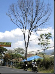 Many Trees in Malang are Dying From Unidentified Disease