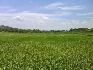 Whatta beautiful paddy field