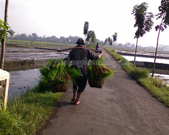 Taking Seeds to the Rice Field