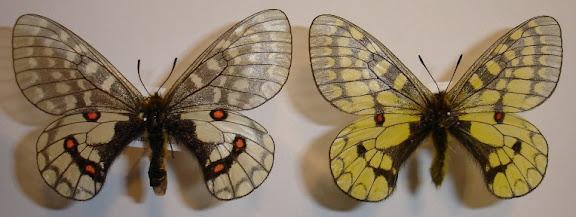 Papilio (Driopa) eversmanni vosnessenskii MÉNÉTRIÈS, 1850. Levaya, Monts Bureinskij (1200 m), rayon de Vernebureinskij, Kraï de Khabarovsk, (fin juin). Photo : Pavel Morozov