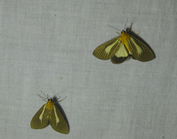 Aganaidae : à gauche : Asota heliconia philippina ROTHSCHILD, 1897 ; à droite : Asota heliconia philippina f. nervosa ROTHSCHILD, 1897. Greenviews Resort, Port Barton (Palawan), août 2005. Photo : J.-M. Gayman