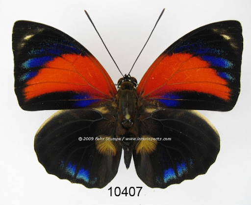Agrias pericles mauensis, mâle, forme pretiosa MICHAEL, 1927. Photo : Interinsects Felix Stumpe. http://www.interinsects.de/---new-offers-lepidoptera/6345659ce01069e1b/index.html