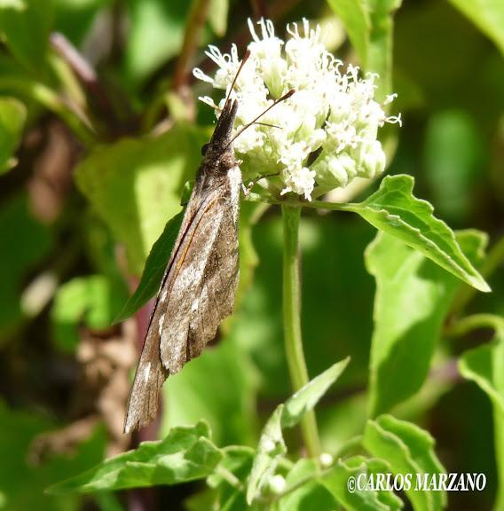 Libytheana carinenta CRAMER, 1777. Merlo, Provincia de San Luis, febrero 2009. Photo : Carlos Marzano