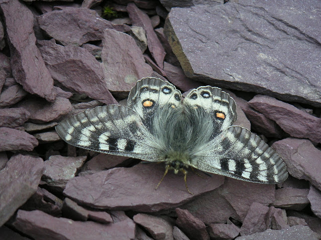 Parnassius delphius albulus HONRATH, 1889. Dolon Pass (3350 m), Kyrgyzistan, 15 juillet 2006. Photo : François Michel.