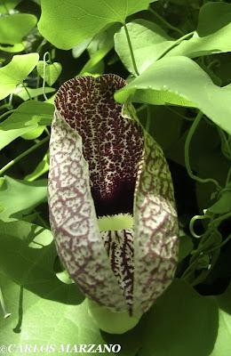 Aristolochia elegans (familia Aristolochiaceae), planta hospedadora de Battus polydamas. Foto : Carlos Marzano
