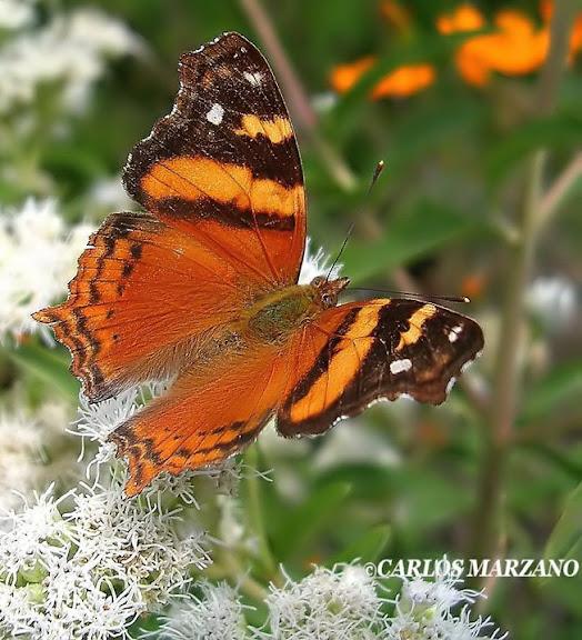 Hyparnatia bella, Provincia de Cordoba, localidad de Villa Amancay, a orillas de arroyo Ambos, el 4 de Abril de 2007. Foto : Carlos Marzano