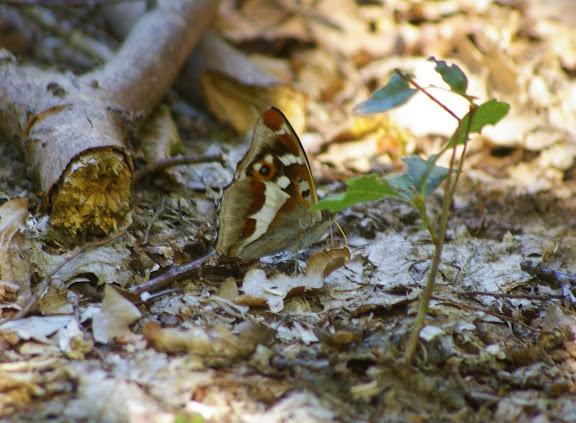 Apatura iris, les Hautes-Lisières (28260). Photo : J.-M. Gayman. 30 juin 2008