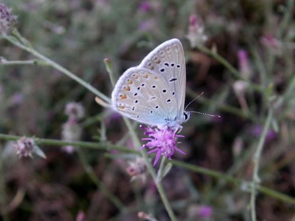 Polyommatus icarus bienerti BALINT, 1993, Darai Nazarak, Monts Pierre le Grand, 21 juillet 2008. Photo Jean-Marie Desse
