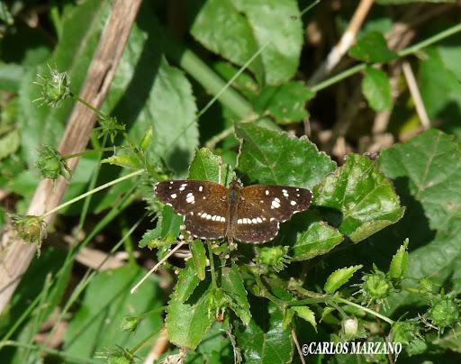 Ortilia ithra. Foto tomada en Reserva provincial de Hudson, el 26 abril 2009 al sur de Buenos Aires. Carlos Marzano