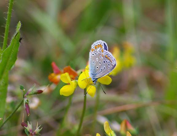 Polyommatus icarus ROTTEMBURG, 1775, mâle, verso. Les Hautes-Lisières, 16 juillet 2009. Photo : J.-M. Gayman