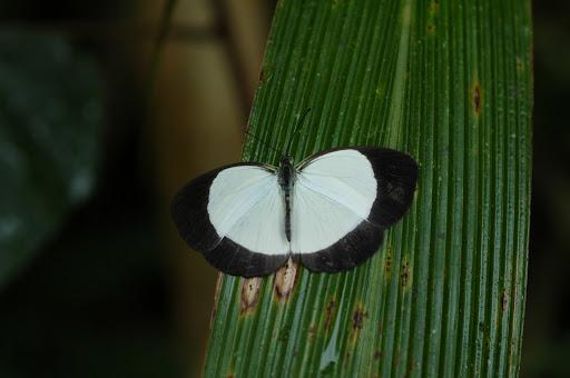 Eurema puella BOISDUVAL, 1832, femelle. Mokwam (Arfak), 20 août 2007. Photo : G. Zakine