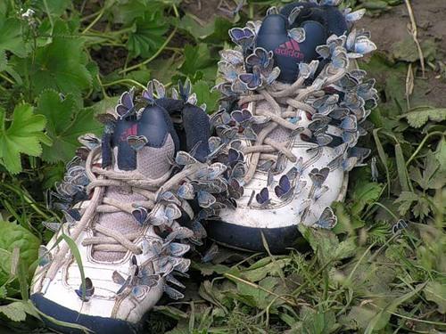 Lycènes sur une paire de chaussures. Photo : Andrey Silaev