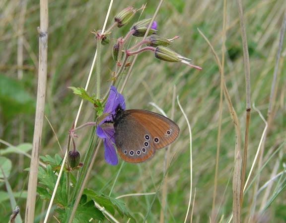 Coenonympha nolckeni nolckeni ERSCHOFF, 1874. Kekemeren, 1er juillet 2006. Photo : E. Zinszner