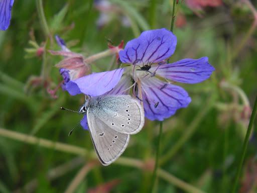 Eumedonia persephatta persephatta ALPHÉRAKY, 1881. Dolon Pass, 17 juillet 2006. Photo : B. Lalanne-Cassou
