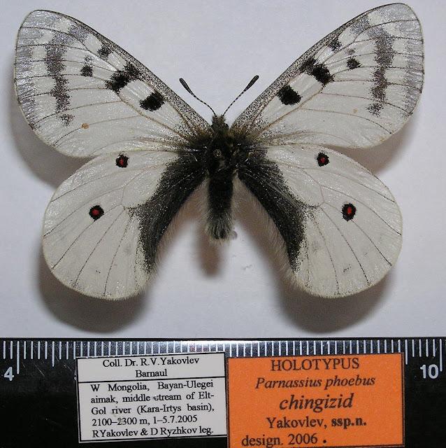 Parnassius phoebus chingizid spp. nova YAKOVLEV, 2006, holotype, mâle. LT : cours moyen de la rivière Elt-Gol, dist. de Bayan-Ulegei (Ölgij), Mongolie occidentale. Photo : Roman Yakovlev