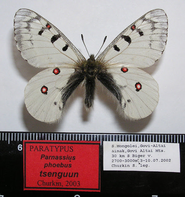 Parnassius phoebus tsenguun CHURKIN, 2003, mâle, paratype. Dist. de Govi-Altaï, SW de la Mongolie. Photo : R. Yakovlev