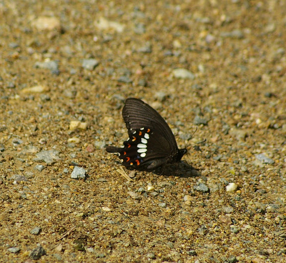 Papilio polytes, LINNAEUS, 1758, mâle (2100 m). Xizhou (Yunnan), 6 août 2010. Photo : J.-M. Gayman