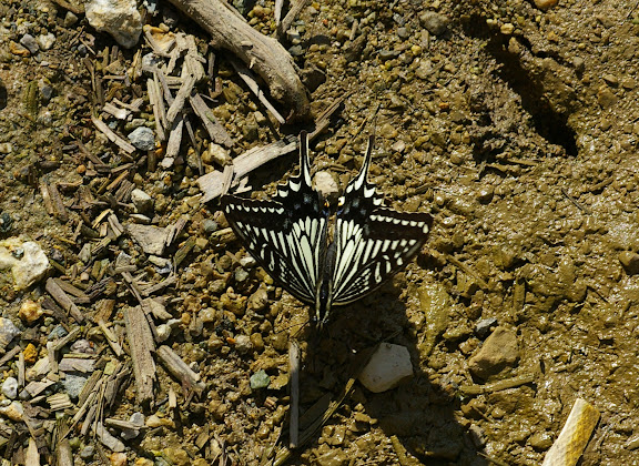 Papilio xuthus LINNAEUS, 1767. Xizhou, 2100 m (Yunnan), 6 août 2010. Photo : J.-M. Gayman