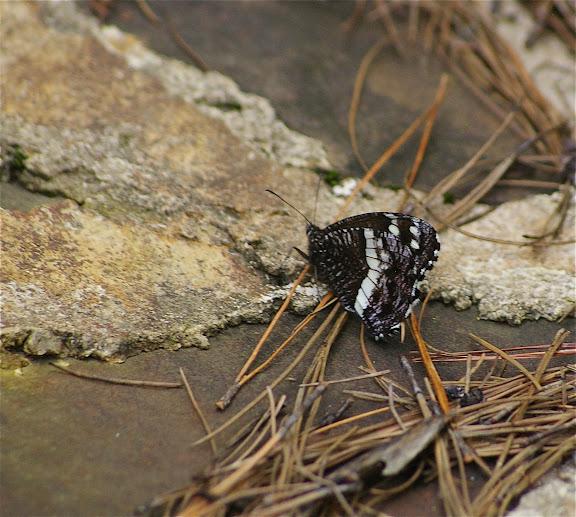 Aulocera brahminoides MOORE 1896. Yulong (3250 m), au Nord de LIjiang (Yunnan), 17 août 2010. Photo : J.-M. Gayman