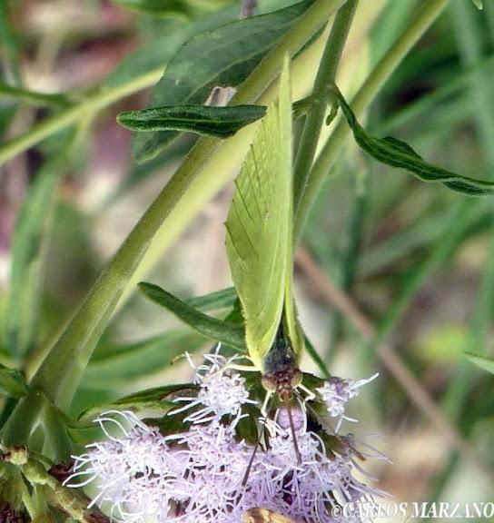 Zerene cesonia STOLL, 1790. Merlo, Prov. de San Luis, (Argentina), Febrero 2010. Foto : Carlos Marzano