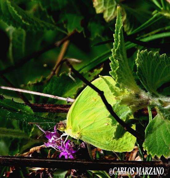 Phoebis sennae marcellina CRAMER, 1767. Foto tomada en Febrero 2010, Merlo, Prov. de San Luis, Argentina. Carlos Marzano