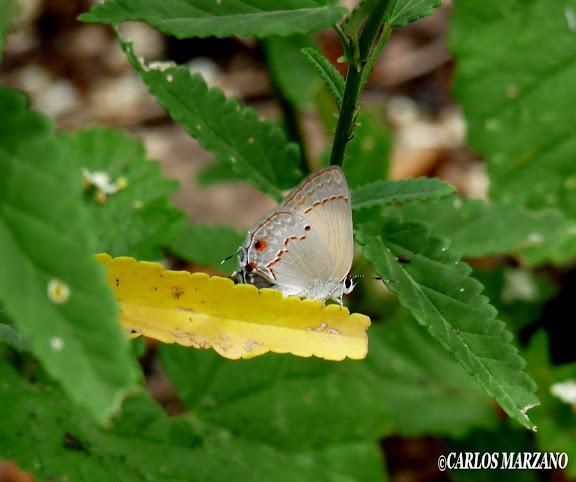 Strymon rufofusca HEWITSON, 1877. Merlo, Prov. de San Luis, Argentina, Febrero 2010. Photo : Carlos Marzano