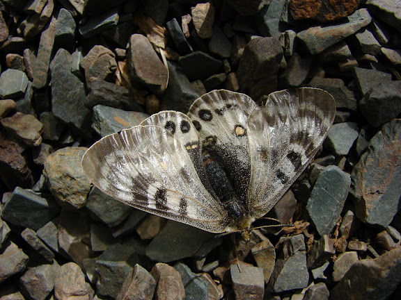 Parnassius delphius namangamus ELWES, 1886. Alabel Pass, 3300 m (Kyrgyzistan), 28 juin 2006. Photo : E. Zinszner