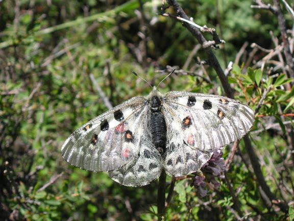 Parnassius tianschanicus tianschanicus OBERTHÜR, 1879, Kyzyl Aksuu (2700 m), Kungej Alatau, Kyrgyzistan (5 juillet 2006). Photo : J. Michel