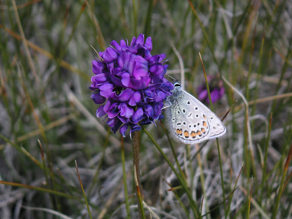 Polyommatus eros vasilyi TSHIKOLOVETS, 1995, sur sa plante nourricière (?), vallon au SE de Kara Say, Mts Borkoldoy (Koksaal Alatau), Kirghizstan, 12 juillet 2006. Photo : F. Michel