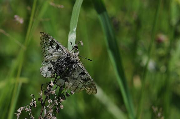Parnassius phoebus phoebus FABRICIUS, 1798. Seminskij pereval (2000 m), 6 juillet 2010. Photo : B. Lalanne-Cassou