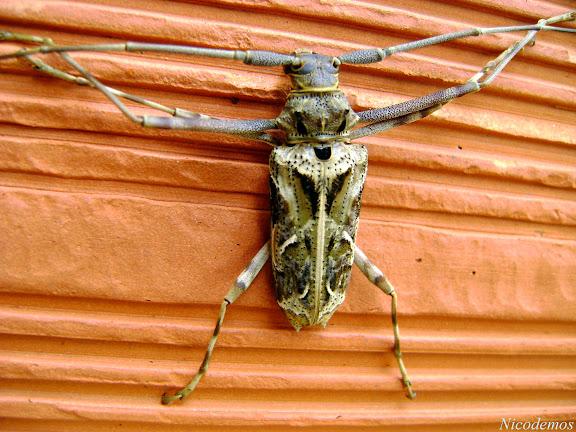 Cerambycidae : Acanthodererini : Macropophora accentifer OLIVIER, 1795. Pitangui (MG, Brésil), 26 octobre 2009. Photo : Nicodemos Rosa