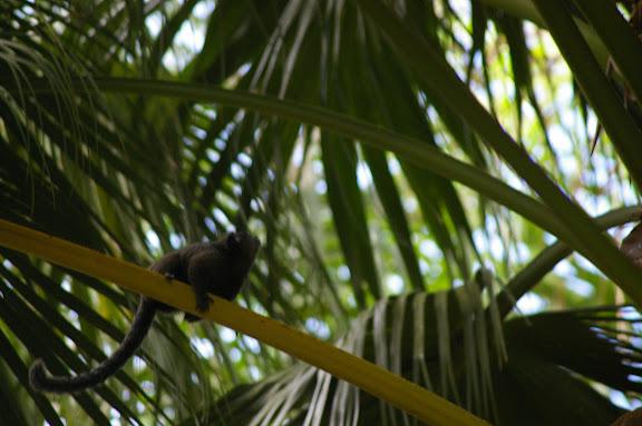 Petit singe. Abrâo (Ilha Grande, RJ), 19 février 2011. Photo : J.-M. Gayman