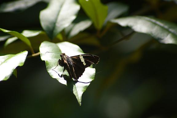 Hesperiidae : Oechydrus sp. Caçandoca (Ubatuba, SP), 21 février 2011. Photo : J.-M. Gayman
