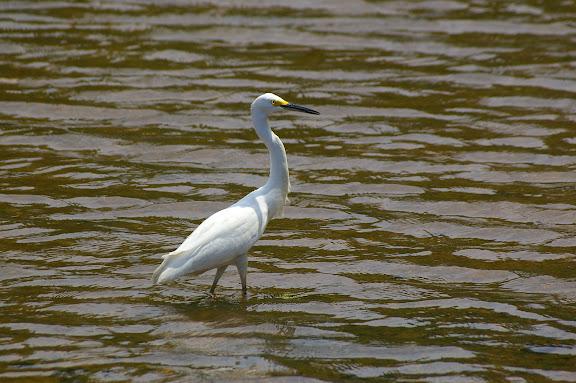Héron dans la rivière d'Itamambuca. 14 février 2011. Photo : J.-M. Gayman