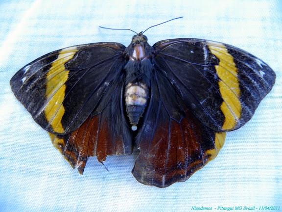 Opsiphanes invirae HÜBNER, (1808), femelle. Pitangui (MG, Brésil), 11 avril 2011. Photo : Nicodemos Rosa