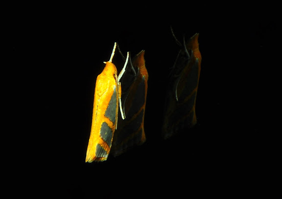 Hypertrophidae : Thudaca mimodora MEYRICK, 1892 (ou T. obliquela). Umina Beach (New South Wales, Australie), 15 avril 2011. Photo : Barbara Kedzierski