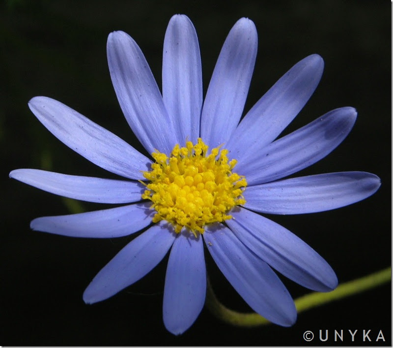 UNK2228 - Margarita Azul-800