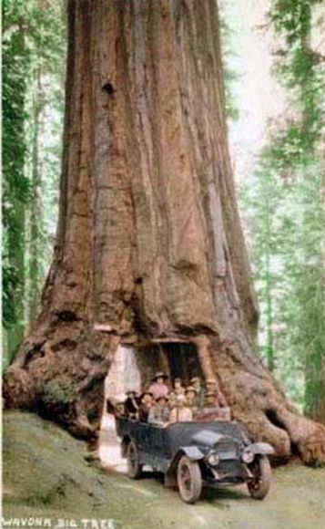 รูปภาพ ต้นไม้ยักษ์รอบโลก