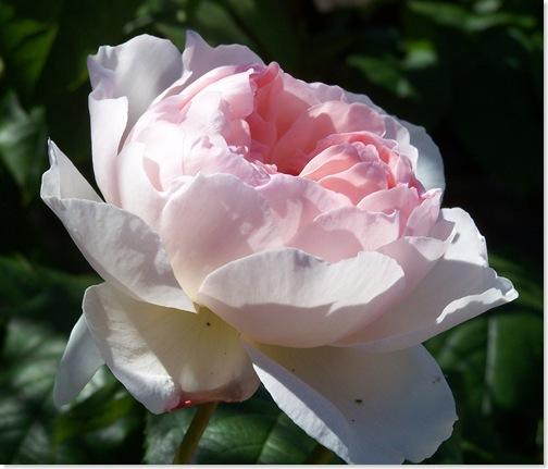 rose2_june09