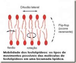 Mobilidade dos fosfolípidios