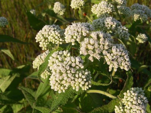 Boneset Eupatorium Perfoliatum Boneset Cover
